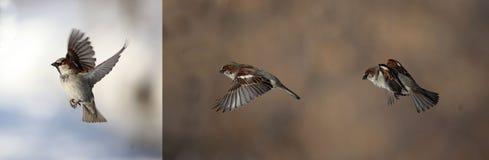 在飞行中麻雀小的棕色鸟 免版税图库摄影