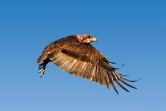 在飞行中Bateleur老鹰 图库摄影