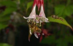 在飞行中Hoverfly的一张宏观照片和在一朵美丽的白色和桃红色花的蜂蜜蜂 免版税库存图片