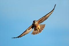 在飞行中Lanner猎鹰 免版税库存图片