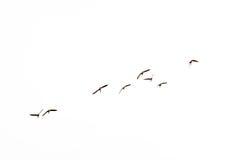 在飞行中malards外形,隔绝在白的语录platyrhynchos 免版税图库摄影