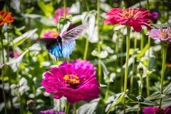 在飞行中Pipevine Swallowtail蝴蝶 库存照片