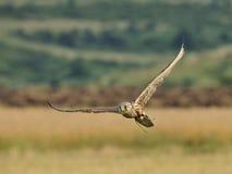 在飞行中Saker猎鹰 免版税库存图片