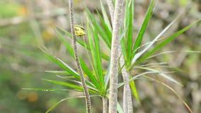 在飞行在射击中间的植物的分支的柠檬rumped唐纳雀 影视素材