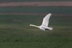 在飞行期间的一疣鼻天鹅天鹅座olor与自然绿色bac 图库摄影
