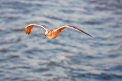 在飞行海鸥水间 免版税库存图片