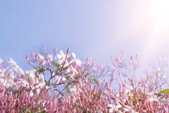 在飞行的一朵桃红色花的晴朗的早晨 库存图片