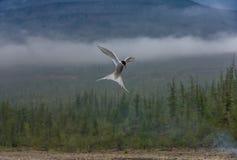 在飞行的极性燕鸥在森林背景 免版税库存照片