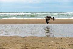在飞行的海鸥在有打破在湿含沙岸的波浪的风雨如磐的海上 库存图片