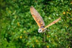 在飞行的猫头鹰 免版税图库摄影