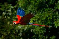 在飞行的红色鹦鹉 猩红色金刚鹦鹉, Ara澳门,在热带森林里,哥斯达黎加,从热带自然的野生生物场面 红色鸟在fo 免版税库存图片