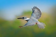 在飞行的翠鸟 在蓝色河上的飞鸟圈状的翠鸟有开放票据的在巴西潘塔纳尔湿地 行动从tr的野生生物场面 免版税库存照片