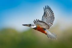 在飞行的翠鸟 在蓝色河上的飞鸟圈状的翠鸟有开放票据的在巴西潘塔纳尔湿地 行动从tr的野生生物场面 库存图片