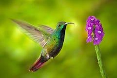 在飞行的蜂鸟绿色breasted芒果与浅绿色的bac 库存图片