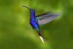 在飞行的鸟 飞行蜂鸟 行动从自然的野生生物场面 从哥斯达黎加的蜂鸟在飞行大蓝色的热带森林里 库存照片