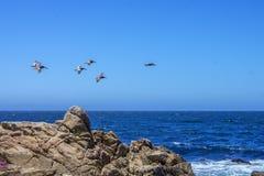 在飞行, 17英里期间的鹈鹕推进 免版税图库摄影