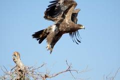 在飞行ORBEER猛禽公园拉贾斯坦的干草原老鹰 免版税库存照片