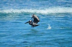 在飞行Puerto里科的布朗鹈鹕 库存照片
