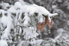 在飞雪期间的杉木锥体 免版税库存图片