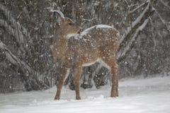 在飞雪的一只积雪的母鹿白尾鹿 免版税库存图片