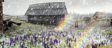 在飞雪的番红花 库存照片