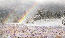 在飞雪的番红花 免版税库存图片