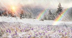 在飞雪的番红花 免版税库存照片