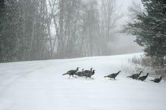 在飞雪的野生火鸡 免版税库存照片