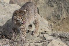 在食物四处寻觅的美洲野猫  免版税图库摄影