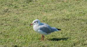 在食物查寻的海鸥在北海的瓦特 库存照片