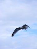 在食物以后的海鸥追逐 库存照片