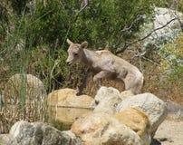 在饮用的水池的逗人喜爱的新的春天羊羔在Anza Borrego国家公园在加利福尼亚 免版税库存图片