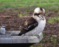 在饮水器的笑的Kookaburra 库存照片