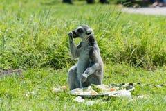 在饲养时间的环纹尾的狐猴在野生生物公园 免版税图库摄影