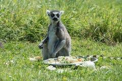 在饲养时间的环纹尾的狐猴在野生生物公园 免版税库存照片