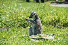在饲养时间的环纹尾的狐猴在野生生物公园 免版税库存图片