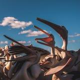 在饲养时间的饥饿的鹈鹕在阳光下 免版税库存照片