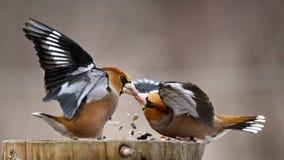 在饲养者的两只蜡嘴鸟战斗 免版税库存照片