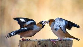 在饲养者的两只蜡嘴鸟战斗 图库摄影