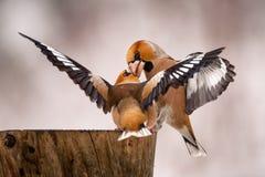 在饲养者的两只蜡嘴鸟战斗 库存照片