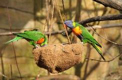 在饲养者的彩虹lorikeets 免版税库存照片