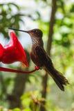 在饲养者的蜂鸟在cocora谷 免版税库存照片