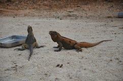 在饲养时间的两只棕色鬣鳞蜥在加勒比的储备动物区系 免版税库存图片
