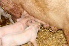 在饲养时间的小的猪在农场 免版税库存照片