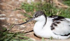 在饲养的一群长嘴上弯的长脚鸟 库存照片