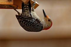 在饲养者的红鼓起的啄木鸟 免版税库存照片