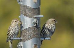 在饲养者的美国金子Finchs 免版税库存照片
