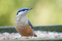 在饲养者的蓝冠山雀 免版税图库摄影