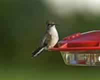 在饲养者的黑的chinned蜂鸟 免版税图库摄影