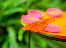在馈电线的茱莉亚蝴蝶 库存图片